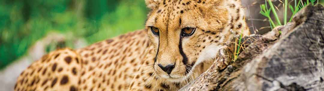 Meet cheetahs without the fences